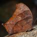 Melanitis phedima - Photo (c) Liu JimFood, algunos derechos reservados (CC BY-NC)