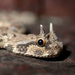 Horned Vipers - Photo (c) Julien Renoult, some rights reserved (CC BY)