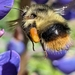 Fuzzy-Horned Bumble Bee - Photo (c) Steven Arntson, some rights reserved (CC BY-NC)