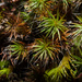 Bristly Haircap Moss - Photo (c) Else Mikkelsen, some rights reserved (CC BY-NC)