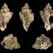 Ocenebra erinaceus - Photo (c) H. Zell, alguns direitos reservados (CC BY-SA)