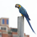 Blue-and-yellow Macaw - Photo (c) Oswaldo Hernández, some rights reserved (CC BY-NC)