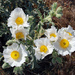 Flatbud Prickly Poppy - Photo (c) Ron Sipherd, some rights reserved (CC BY-NC-ND)
