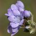 Gilia achilleifolia - Photo (c) Philip Bouchard, algunos derechos reservados (CC BY-NC-ND)