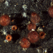Dialonectria episphaeria - Photo (c) Thomas Laxton, μερικά δικαιώματα διατηρούνται (CC BY-SA)
