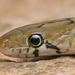 Trinket Snake - Photo (c) Girish Gowda, some rights reserved (CC BY-NC)
