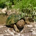 Razor-backed Musk Turtle - Photo (c) groverbrown, some rights reserved (CC BY-NC)