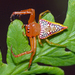 Walckenaer's Studded Triangular Spider - Photo (c) Simon Grove, some rights reserved (CC BY-NC), uploaded by Simon Grove (TMAG)