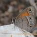 Mariposa Sátira Roja - Photo (c) guyincognito, algunos derechos reservados (CC BY-NC)