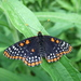 Baltimore Checkerspot - Photo (c) Stylurus, some rights reserved (CC BY-NC-SA)
