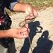 Demansia torquata - Photo (c) melrodgers, algunos derechos reservados (CC BY-NC)