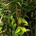 Peperomia elata - Photo (c) Leonardo Álvarez-Alcázar, algunos derechos reservados (CC BY-NC)