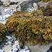 Channelled Wrack - Photo (c) Shandchem, some rights reserved (CC BY)