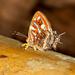 Sarota chrysus - Photo (c) David Reed, osa oikeuksista pidätetään (CC BY-NC-SA)
