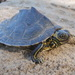 Barbour's Map Turtle - Photo (c) groverbrown, some rights reserved (CC BY-NC)