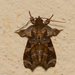 Callopistria fimbripes - Photo (c) Arnold Wijker, algunos derechos reservados (CC BY-NC)