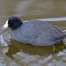 American Coot - Photo (c) Robin Gwen Agarwal, some rights reserved (CC BY-NC)