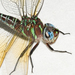 Swamp Darner - Photo (c) Royal Tyler, some rights reserved (CC BY-NC-SA)