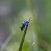 Clanoptilus arnaizi - Photo (c) achine, μερικά δικαιώματα διατηρούνται (CC BY-NC)