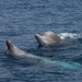 North Atlantic Bottlenose Whale - Photo (c) WoRMS for SMEBD, some rights reserved (CC BY-NC-SA)