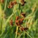 Scirpus atrovirens - Photo (c) Peter Gorman, algunos derechos reservados (CC BY-NC-SA)