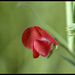 Red Vetchling - Photo (c) J. Gállego, some rights reserved (CC BY-NC-ND)