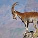 Cabra Montés de Etiopía - Photo (c) Nik Borrow, algunos derechos reservados (CC BY-NC)