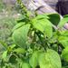 Acalypha ostryifolia - Photo (c) plerd, algunos derechos reservados (CC BY)