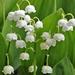 Convallaria majalis - Photo (c) prellinchen, algunos derechos reservados (CC BY-NC)
