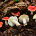 Winter Russula - Photo (c) Christian Schwarz, some rights reserved (CC BY-NC)