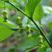 Polygonatum pubescens - Photo (c) Annkatrin Rose, osa oikeuksista pidätetään (CC BY-NC)