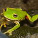 Moltrecht's Green Tree Frog - Photo (c) Liu JimFood, some rights reserved (CC BY-NC)