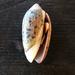 Conchas Aceituna - Photo (c) Megan, algunos derechos reservados (CC BY-NC)