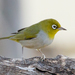 Silvereye - Photo (c) Kazredracer, some rights reserved (CC BY-NC-ND)