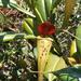 Nepenthes madagascariensis - Photo (c) scott.zona, algunos derechos reservados (CC BY-NC)