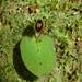 Corybas oblongus - Photo (c) Leon Perrie, osa oikeuksista pidätetään (CC BY-NC-SA)