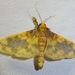 Pachynoa thoosalis - Photo (c) Pam Piombino,  זכויות יוצרים חלקיות (CC BY-NC)