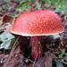 Exsudoporus frostii - Photo (c) Adam, algunos derechos reservados (CC BY-SA)