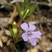 Dyschoriste oblongifolia - Photo (c) Jason Sharp, algunos derechos reservados (CC BY-NC-SA), uploaded by SharpJ99