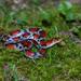 Cemophora coccinea copei - Photo (c) Ashley Wahlberg,  זכויות יוצרים חלקיות (CC BY-NC)