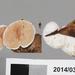 Crepidotus albolanatus - Photo (c) Jerry, algunos derechos reservados (CC BY), uploaded by Jerry Cooper