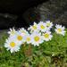 Leucanthemopsis alpina - Photo (c) Fred Inklaar, algunos derechos reservados (CC BY-NC-SA)