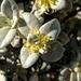 Shepherdia rotundifolia - Photo (c) Craig Ontl, algunos derechos reservados (CC BY-NC)