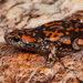 Phrynomantis annectens - Photo (c) Tyrone Ping, algunos derechos reservados (CC BY-NC)