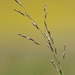 Nuttall's Alkali Grass - Photo (c) Christian Schwarz, some rights reserved (CC BY-NC)