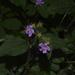 Chaetogastra clinopodifolia - Photo (c) Liu Idárraga Orozco, some rights reserved (CC BY-NC)
