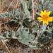 Balsamorhiza lanata - Photo (c) Chloe and Trevor, algunos derechos reservados (CC BY)