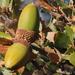 Quercus cornelius-mulleri - Photo (c) Fred Melgert / Carla Hoegen, algunos derechos reservados (CC BY-NC)