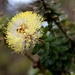 Melaleuca megacephala - Photo (c) Brent Miller, some rights reserved (CC BY-NC-ND)