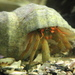 Grainy Hermit Crab - Photo (c) Susannah Anderson, some rights reserved (CC BY-NC-ND)